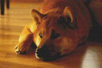 Shiba Inu - Peaceful PDF