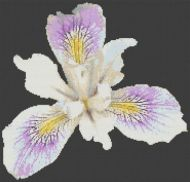 Beautiful Iris PDF