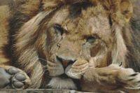 Leisurely Lion