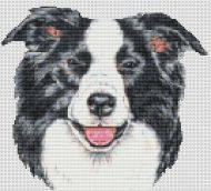 Border Collie Smile