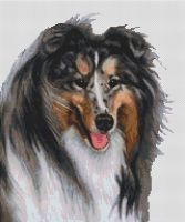 Collie - Blue Merle
