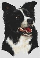 Border Collie III