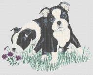 Boston Terrier Puppies PDF