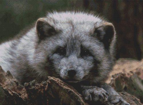 Grey Arctic Fox