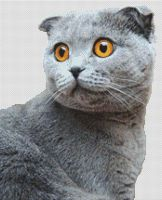 Grey Scottish Fold