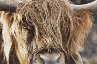 Scottish Highland Cow PDF